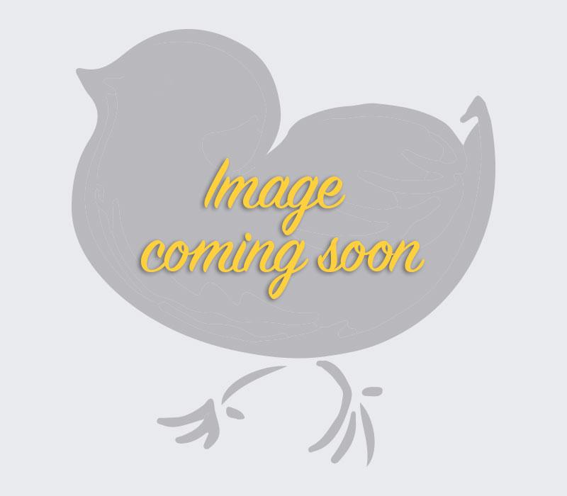 Ringneck Pheasant Chicks